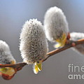 American Pussy Willow  by Catherine Reusch Daley