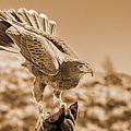 American Red Tail Hawk by LeeAnn McLaneGoetz McLaneGoetzStudioLLCcom