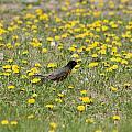American Robin Among Dandelions by Robert Hamm