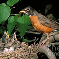 American Robin Feeding Its Young by David N. Davis