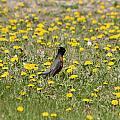 American Robin In A Field Of Dandelions by Robert Hamm