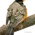 American Robin Male Animal Portrait by A Gurmankin