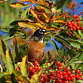 American Robin by James Peterson