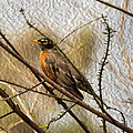 American Robin On A Branch by John M Bailey