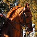American Saddlebred 4 by Cheryl Poland