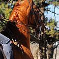 American Saddlebred Horse Head Shot by Cheryl Poland