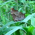 American Snout Butterfly by Joshua Bales