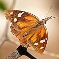 American Snout Butterfly by Stuart Litoff