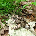 American Toad by Joshua Bales