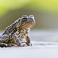 American Toad by Mircea Costina Photography