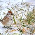 American Tree Sparrow by Deena Stoddard