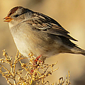 American Tree Sparrow by Frank Townsley