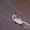 American Tree Sparrow In A Winter Setting by John Harmon