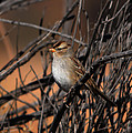 American Tree Sparrow by John Greco