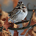 American Tree Sparrow No 2 by Mike Martin