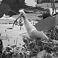 American White Ibis Black And White by Dan Sproul