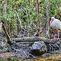 American White Ibis by Olga Hamilton