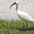 American White Ibis Poster Look by Sally Rockefeller