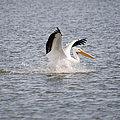 American White Pelican Landing 3 by Roy Williams