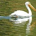 American White Pelican On A Lake by Marilyn Burton