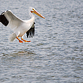 American White Pelican Water Landing 2 by Roy Williams