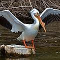 American White Pelican by Wyatt Anderson