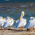 American White Pelicans by Debra Martz