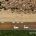 American White Pelicans by Robert Bales
