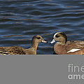American Widgeon Pair by John Shaw