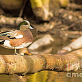 American Wigeon by Calazone's Flics