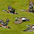 American Wigeon Drakes by Anthony Mercieca