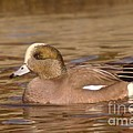 American Wigeon by Jeff Swan