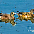 American Wigeon Pair Swimming by Anthony Mercieca