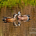American Wigeon Pair Together by Anthony Mercieca