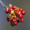 American Winterberry by Brian Wallace