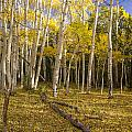 Amid The Aspens by Focus On Nature Photography
