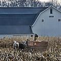 Amish Corn Picking And 1919 Barn by David Arment