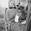 Amish Donkey At Action by Eric  Schiabor