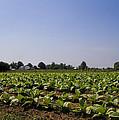 Amish Tobacco Fields by Kathy Clark