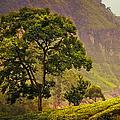 Among The Mountains And Tea Plantations. Nuwara Eliya. Sri Lanka by Jenny Rainbow
