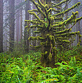 Among The Redwoods by Mike  Walker