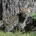 Amur Leopard Cub Antics by Sandra Bronstein