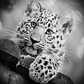 Amur Leopard Cub Portrait by Chris Boulton