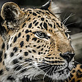 Amur Leopard by Ernie Echols