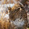 Amur Leopard by Karol Livote