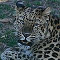 Amur Leopard by Ken Keener