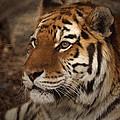 Amur Tiger 2 by Ernie Echols