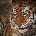Amur Tiger 4 by Ernie Echols