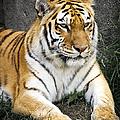 Amur Tiger by Adam Romanowicz