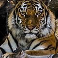 Amur Tiger Watching You by Ernie Echols